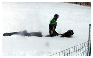 Newfies Love the Snow