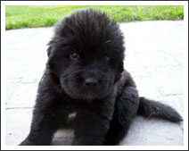Newfie Puppy - Miss White at four weeks old