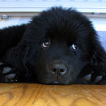 Rescue Newfoundlands Available