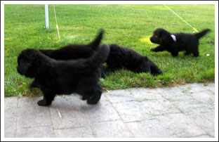 Newfies Puppies Taking a Run